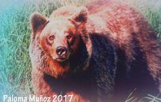 Ilustraciones de los osos asturianos Illustrations of the Asturian bears