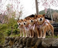 A pack of Shibas ❤