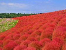 Kochia Scoparia grass