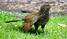 The pheasant coucal is proof that Australia has the best birds - Australian Geographic