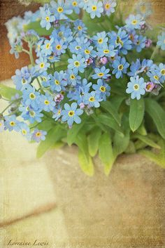 Forget Me Nots (Alaska State Flower) FYI:  These seeds turn black and stick to everything.  Thus they reseed themselves.  I recommend that you pull them out of the ground and toss. I actually give plants away on craigslist every spring.  Some people bring me plants in exchange.