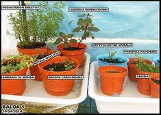 EL INVERNADERO CHICLANERO. Cultivo emergido de plantas acuáticas. - MundoPez.org