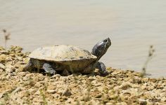 Red Eared Slider Turtle by Beegee
