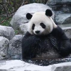 #panda#pandas#pandabear#pandalove#pandalover#pandalife#babypanda#pandababy#pandaeyes#iampanda#animal Panda Gif, Panda Funny, Funny Cute Cats, Cute Panda, Cute Funny Animals, Cute Baby Animals, Panda Video, Cut Animals, Animals And Pets