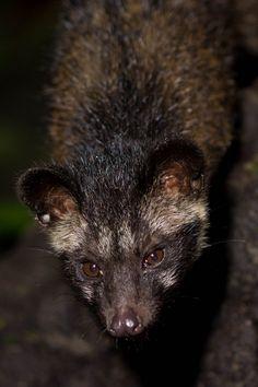 https://flic.kr/p/yXsLk7 | Curious Paradoxurus | Asian palm civet (Paradoxurus hermaphroditus) - Danum Valley, Malaysia