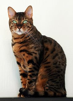Gallery For > Bengal Ocicat Mix