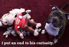 funny-pitt-bull-dogs1.jpg 620×421 pixels
