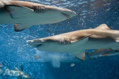 10 Amazing but Endangered Shark Species: How Many Do You Know?