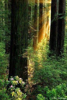 Redwoods bt Russian River