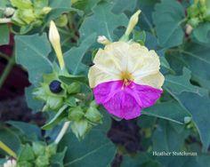 Unusual two tone 4 o'clock flower Clock Flower, Four O Clock, Bing Images, Plant Leaves, Bloom, Flower Gardening, Clocks, Flowers, Plants