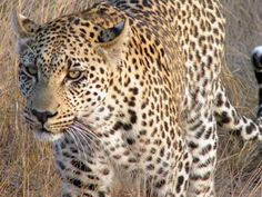 Leopard Up Close and Personal at Motswari South Africa Digital JPG Download on Etsy, $4.00