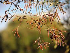 Φυσική καλλιέργεια - Βότανα και Υγεία: Η κλιματική αλλαγή κανεi τις ελιές μη βιώσιμη καλλ...