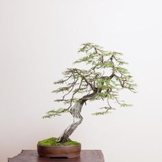 Bonsai Garden, Bonsai Trees, Prunus Mume, Mame Bonsai, Juniper Bonsai, Western Red Cedar, Douglas Fir, Horticulture, British Columbia