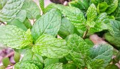 Eva In Tasteland: Λικέρ Δυόσμου.... Plant Leaves, Plants, Flora, Plant, Planting