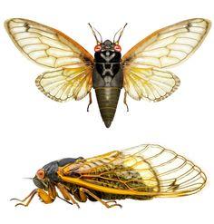 Magicicada sp. (cicada)