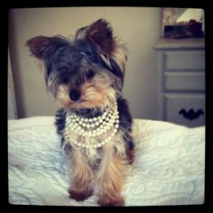 Winston, the amazingly adorable 8-month old Yorkie, is a little bundle of joy!