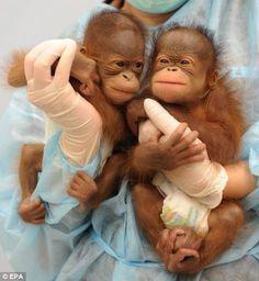 Twin orangutan babies
