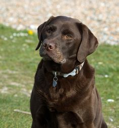 Mind Blowing Facts About Labrador Retrievers And Ideas. Amazing Facts About Labrador Retrievers And Ideas. Labrador Chocolate, Purebred Dogs, Dog Activities, Labrador Retriever Dog, Tier Fotos, Free Dogs, Lab Puppies, German Shepherd Puppies, Working Dogs