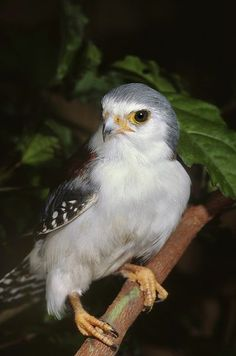 The Pygmy Falcon is the smallest raptor on the African continent.