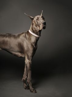 Portfolio - Personality Dog Photographer | The McCartneys Dogs Big Dogs, I Love Dogs, Cute Dogs, Dogs And Puppies, Giant Dogs, Beautiful Dogs, Animals Beautiful, Cute Animals, Big Black Dog Breeds