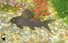 Best images, photos and pictures gallery about Featherfin Synodontis (Synodontis Eupterus) - angelfish tank mates  #featherfinsynodontis #synodontiseupterus #angelfishtankmates #aquarium #fishtank