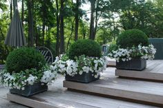 The Enchanted Home: Boxwood in boxy containers with  petunias spilling over