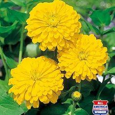 438 best zinnia images on pinterest zinnias annual flowers and a bright trio of large sun gold hybrid zinnia flowers mightylinksfo