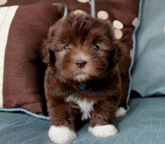 Photo Gallery Part II - HavaHug Havanese Puppies