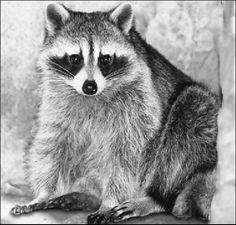 raccoon sitting - /animals/R/racoon/raccoon_sitting. Raccoon Drawing, Raccoon Art, Racoon, Animal Sketches, Animal Drawings, Art Drawings, Drawing Animals, Raccoon Illustration, Illustration Art