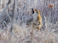 Chatty coyote in Broomfield, Colorado