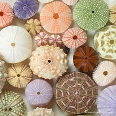 Theme, with variations: Sea Urchins