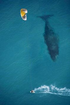 A humpback whale and a kite surfer by Michael Swaine