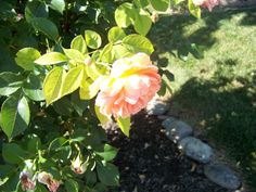 neighbors rose :)