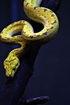 Green Tree Python [ Morelia (Chondropython) viridis ]