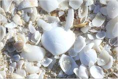 "beautiful australian shells via  ""a beach cottage"""
