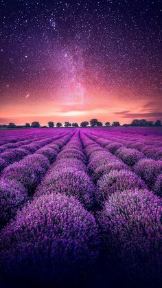 Amazingly Beautiful - Nature and travel photography — Lavender Fields under the stars, in Valensole. Lavender Garden, Lavender Fields, Lavender Flowers, Beautiful Flowers, Beautiful Places, Beautiful Pictures, Beautiful Scenery, Landscape Photography, Nature Photography