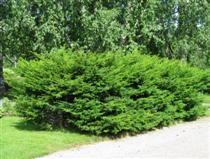TAXUS CUSPIDATA japaninmarjakuusi  Leveä pikkupuu, jonka oksat ovat vaakasuorat. Marjakuusten neulaset ovat litteät, erittäin tummanvihreä... I-IV
