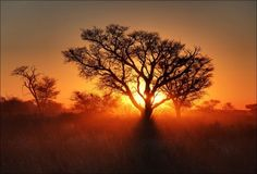 The most beautiful trees of the World - Sunset in the Kalahari