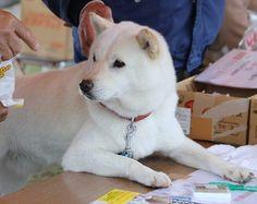 Hokkaido Inu, Ainu ken, Dog Japanese Dog Breeds, Japanese Dogs, Baby Farm Animals, Cute Animals, Hokkaido Dog, Living With Dogs, Spitz Dogs, Dog List, Purebred Dogs
