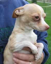 Akira is an adoptable Chihuahua Dog in Wilmington, OH. Akira is a petite young chihuahua with an estimated birth date of March 2012. She weighs 4 pounds. Akira's new family should be experienced wit...