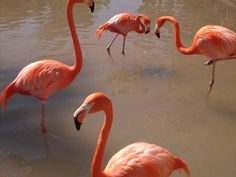 Flamingos doing what they do best... During my visit to the San Diego Zoo