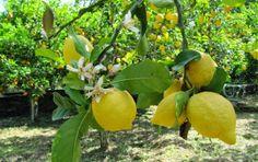 Λειβάδια Ανδρου: Άνθη λεμονιάς στην Ανδρο