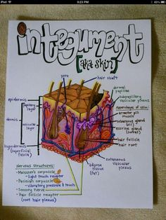 Integumentary System a. Nursing School Notes, Medical School, Ob Nursing, Nursing Schools, Human Anatomy And Physiology, School Study Tips, E Mc2, Body Systems, Nursing Students