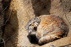 Pallas cat , via Flickr