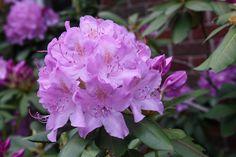 https://flic.kr/p/nv78Cw | Rhododendrone | '아들 딸 조건없는 진정한 사랑으로 키우세요 그리고 인성교육은 이렇게' 부모, 소아과 전문의, 의학도, 간호학 학도, 모든 초등 학교 교사들은 물론이고 모든 분들이 적어도 한번 정도 읽어야할 최신 육아 바이블   부모도 반의사가 되어야 한다 www.koreapediatrics.com