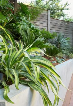 Beschorneria yuccoides 'Flamingo Glow' adds contrast to a lush border of Philodendron selloum and Cycas revoluta along the steep back slope