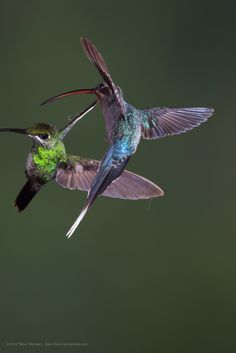 Hummingbird Species | ... Heliodoxa jacula) Hummingbird with Green Hermit, Phaethornis