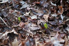 Trout lilies rising up