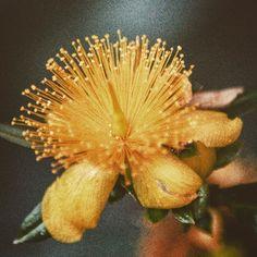 #yellow #flower found on visit to #stlouis #missouri this #summer #2015 #macro #closeup #photoshoot