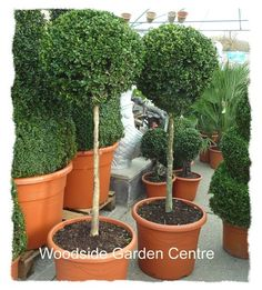 Extra Large Buxus Standard Topiary Ball Plant | Woodside Garden Centre | Pots to Inspire